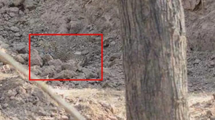 Леопард найден!
