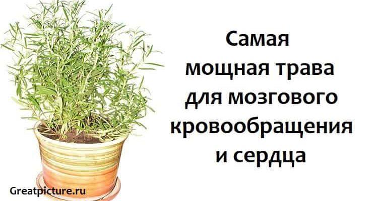 Самая мощная трава для мозгового кровообращения и сердца