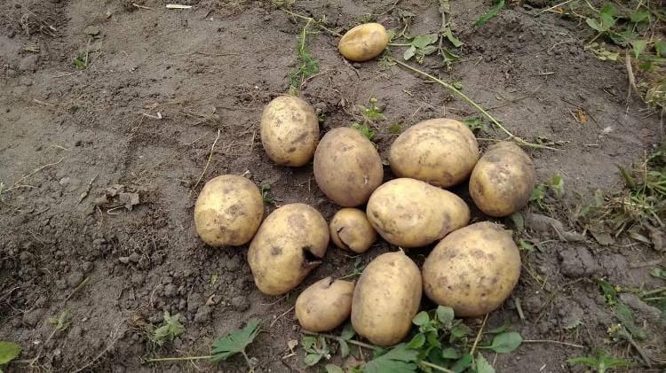 Что будет, если посадить картошку из магазина. Рассказываю, что у нас из этого вышло