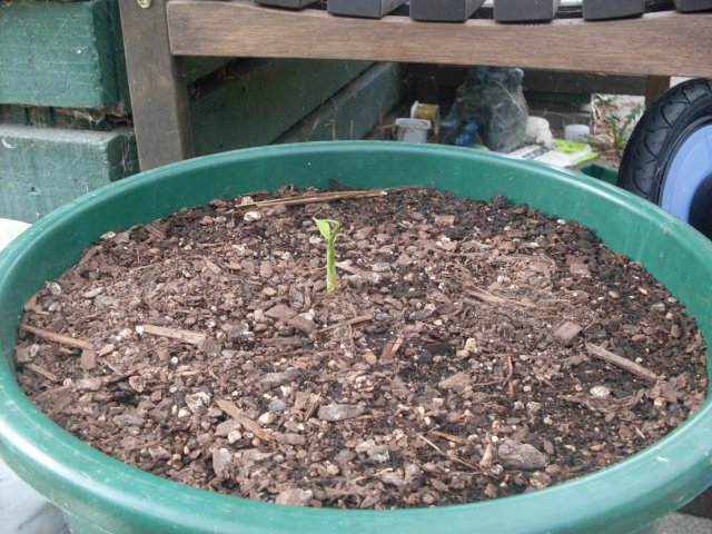 Как посадить имбирь