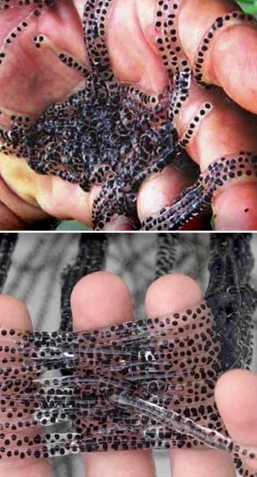 Чем могут быть опасны бусы, найденные на пороге дома. Точно знает существо, которое так откладывает яйца