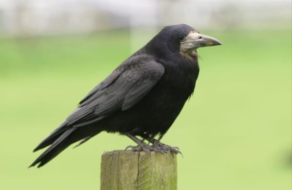 Ворон черного цвета
