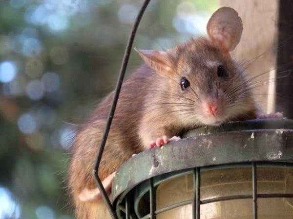 Крыса большого размера