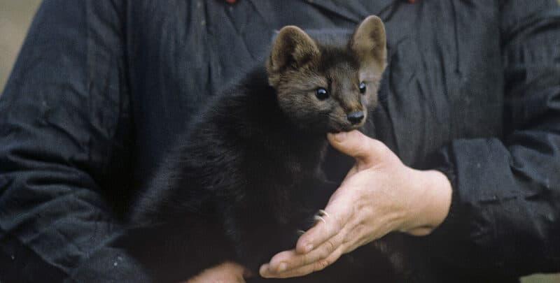 Видео: овчарка принесла из леса маленького щенка, но он подрос и оказался вовсе не собакой