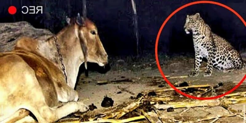 Фермер установил камеру чтобы понять, зачем леопард ночью посещает корову Причина шокировала всех!